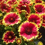Gaillardia Sunset 'Flash'
