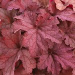 Heuchera 'Coralberry'