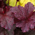Heuchera 'Midnight Rose'