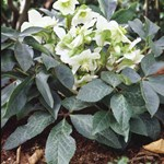 Helleborus 'White Beauty'