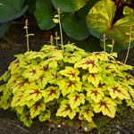 Heucherella 'Catching Fire'