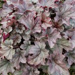Heuchera 'Huckleberry'