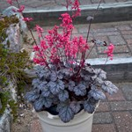 Heuchera 'Timeless Treasure'