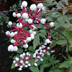 Actaea 'Misty Blue'