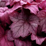 Heuchera 'Georgia Plum'
