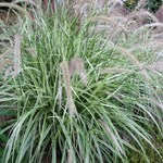 Pennisetum x advena 'Skyrocket'